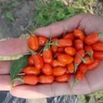 Zdravilne goji jagode